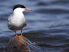 Fisktärna (Sterna hirundo, Common Tern) S. Bergundasjön, Växjö, Sm.