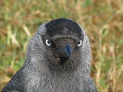 Kaja Corvus monedula Western Jackdaw