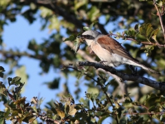 Törnskata, hane (Lanius collurio, Red-backed Shrike) Öl.