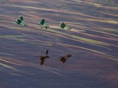 Blåbandad jungfruslända (Calopteryx splendens, Banded Demoiselle)