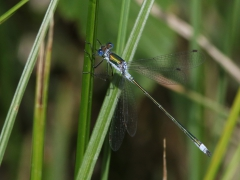 Pudrad smaragdtrollslända (Lestes sponsa, Common Spreadwing)