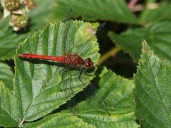 Blodröd ängstrollslända (Sympetrum sanguineum, Ruddy Darter)