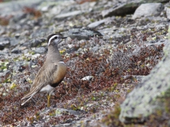 Fjällpipare Charadrius morinellus Eurasian Dotterel