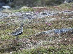 Ljungpipare Pluviales apricaria Golden Plover