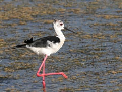 Styltlöpare Himantopus himantopus Black-winged Stilt