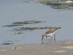 Svartbent strandpipare Charadrius alexandrinus Kentish Plover