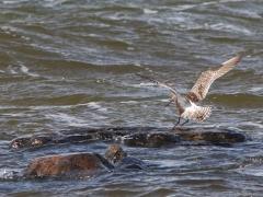 Myrspov (Limosa lapponica, Bar-tailed Godwit) Torhamns udde, Bl.