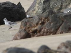 Sandlöpare (Calidris alba, Sanderling)  Maspalomas, Grand Canaria, Spain.